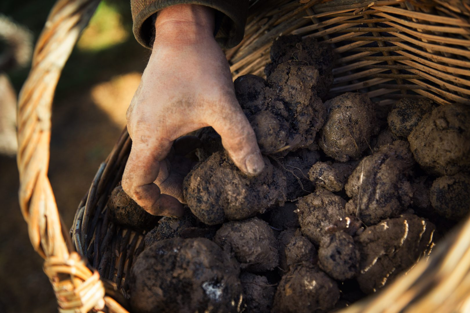 chasse aux truffes