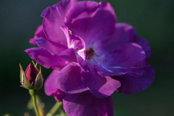 juin floraison