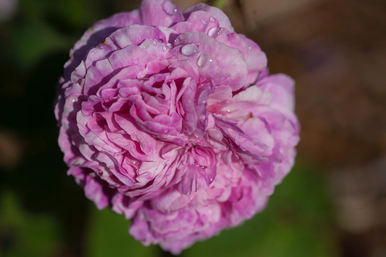 rose ambroise pare