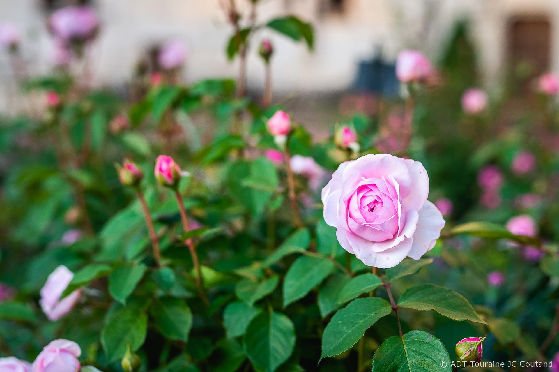 rose rivau